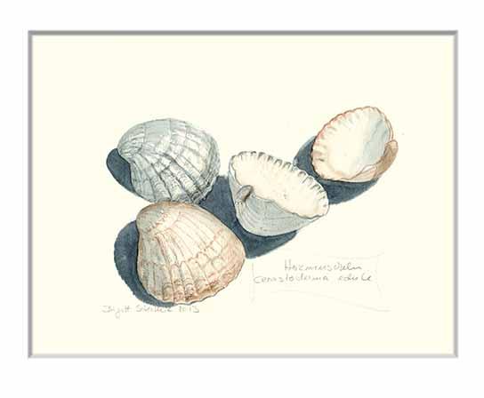 Nr.103  Herzmuscheln - Aquarell 2013