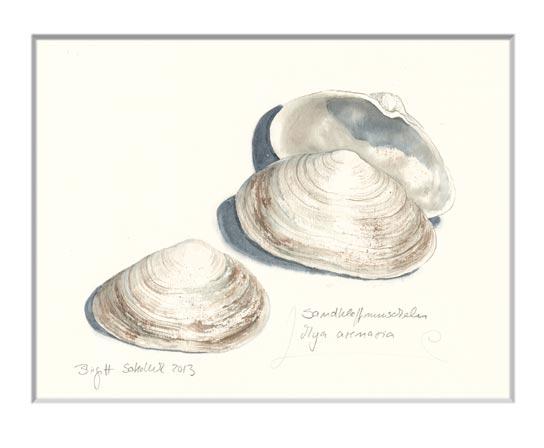 Nr.30  Sandklaffmuscheln - Aquarell 2013