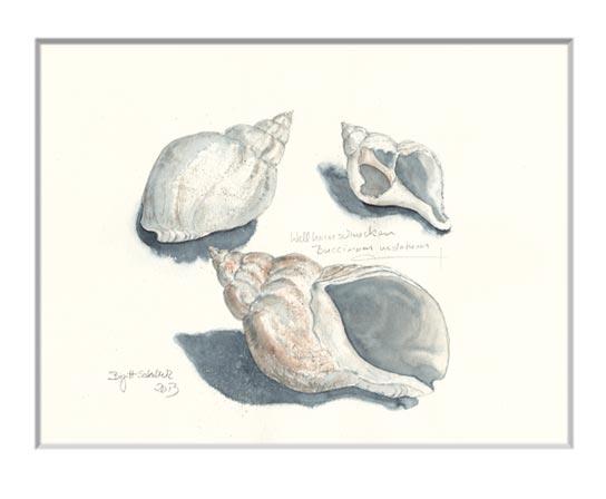Nr.32  Wellhornschnecken - Aquarell 2013